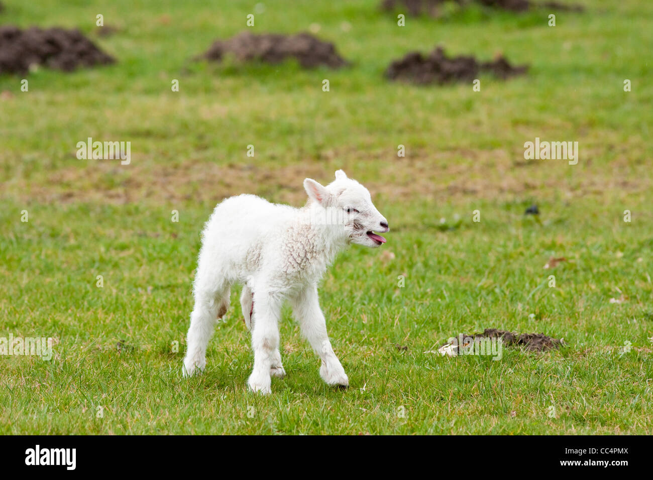 Lonely Newborn Lamb Calling for  Mother - Stock Image