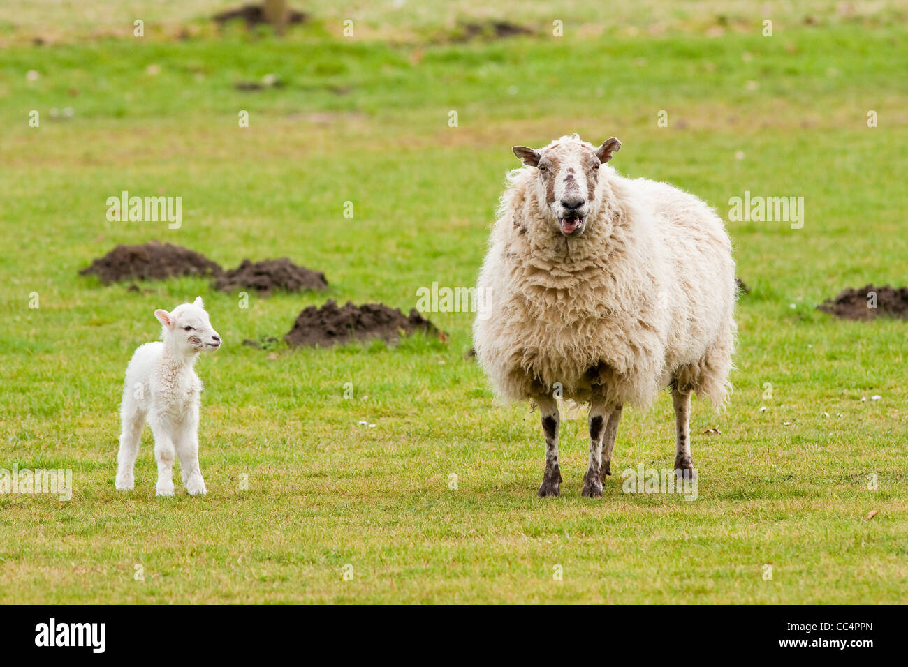 Mother Ewe Bleating With New Born Lamb Looking - Stock Image