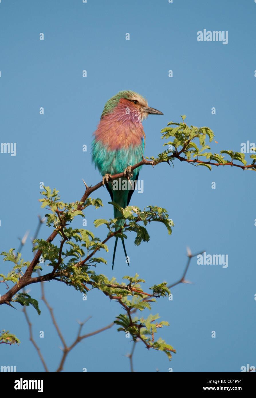 Africa Botswana Tuba Tree. Lilac-breasted Roller perched on limb (Coracias caudatus) Stock Photo