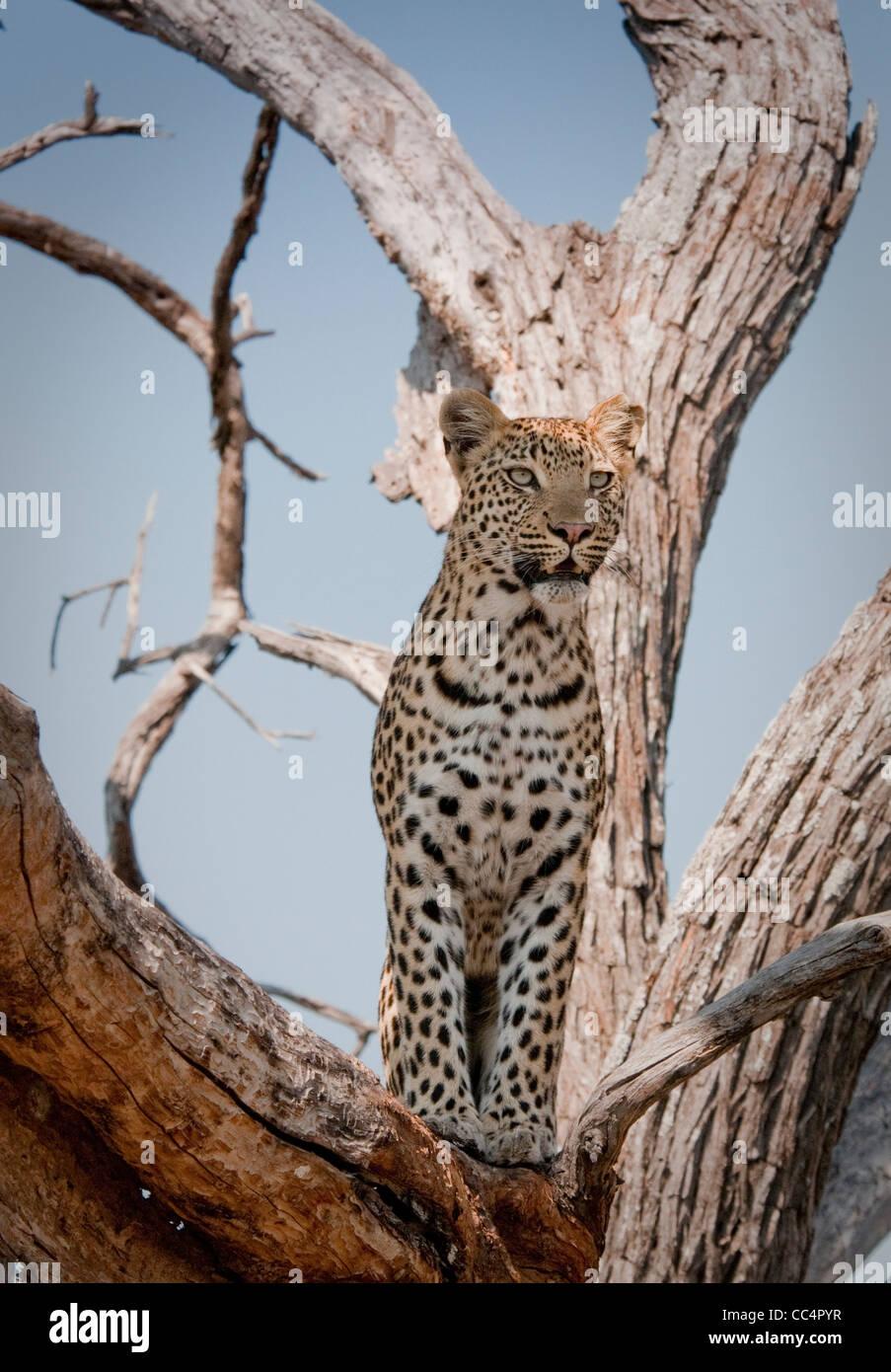 Africa Botswana Tuba Tree-Leopard standing in tree ( Panthera pardus) - Stock Image