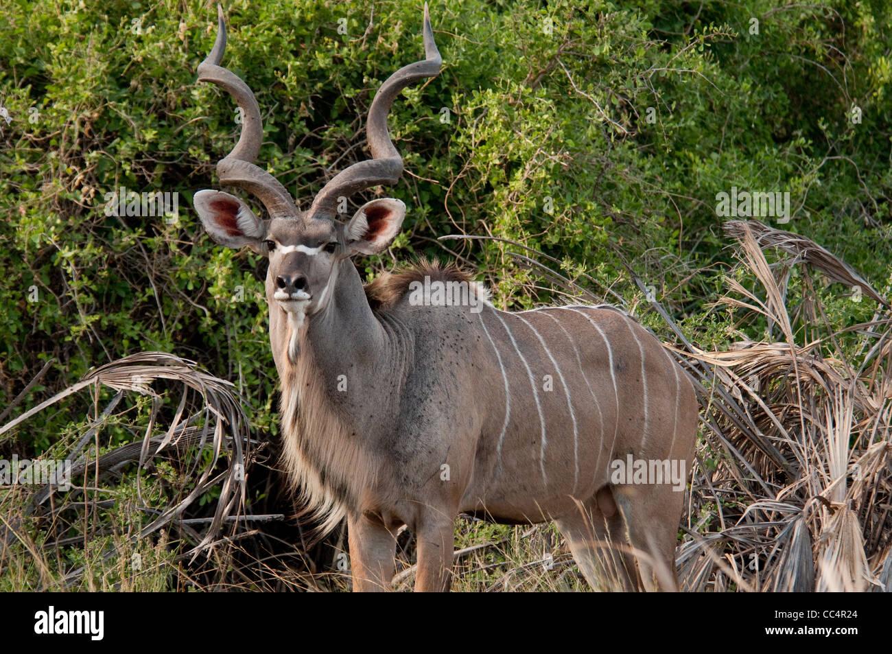 Africa Botswana Tuba Tree-Greater Kudu standing (Tragelaphus strepsiceros) - Stock Image