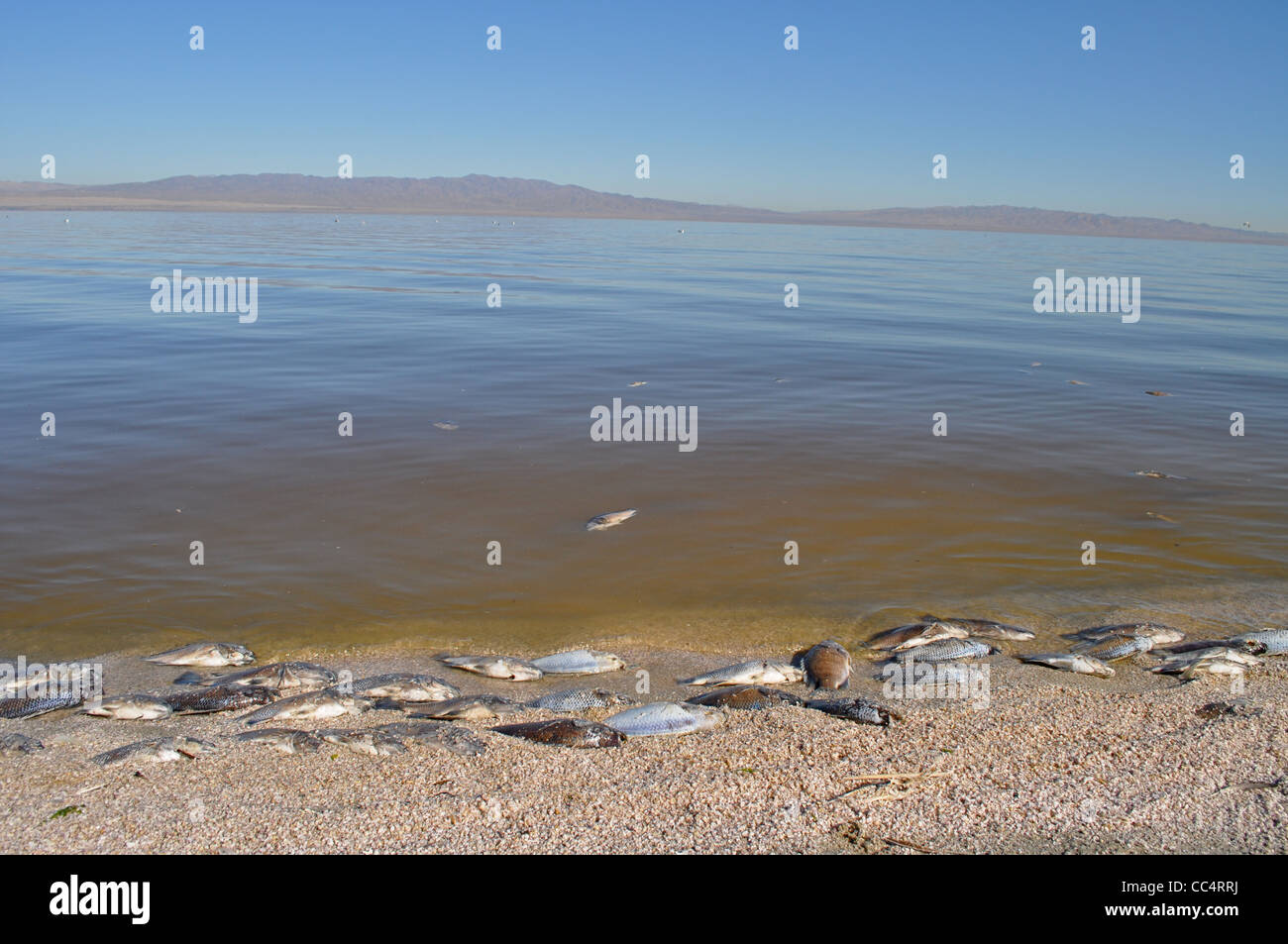 Salton Sea, now almost a ghost town, with dead Tilapia fish bobbing along the edge of the saline lake, California - Stock Image
