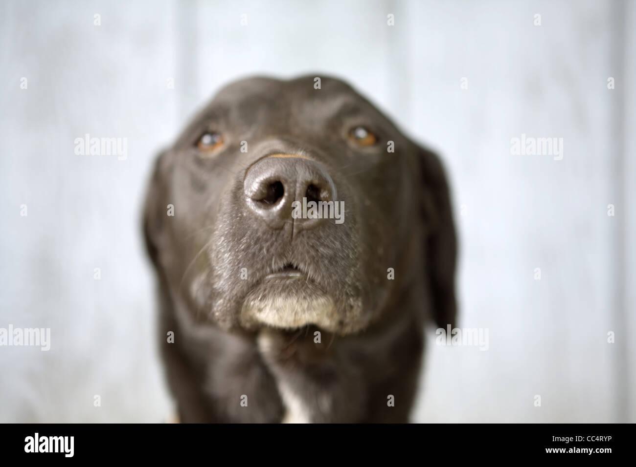 Black Dog Mug Shot - Stock Image