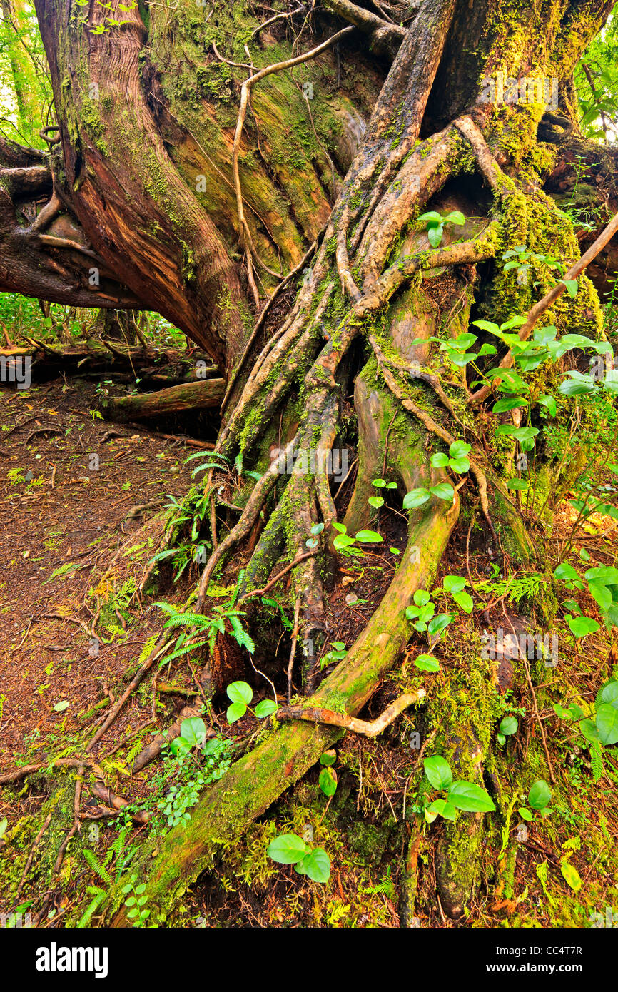 Western Red Cedar root on a nursing tree in the rainforest of Cape Scott Provincial Park on Vancouver Island North, - Stock Image