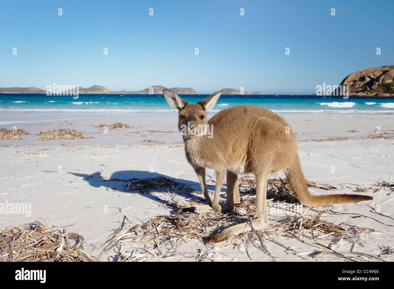 Kangaroo on the beach, Lucky Bay, Cape Le Grand National Park, Western Australia, Australia Stock Photo
