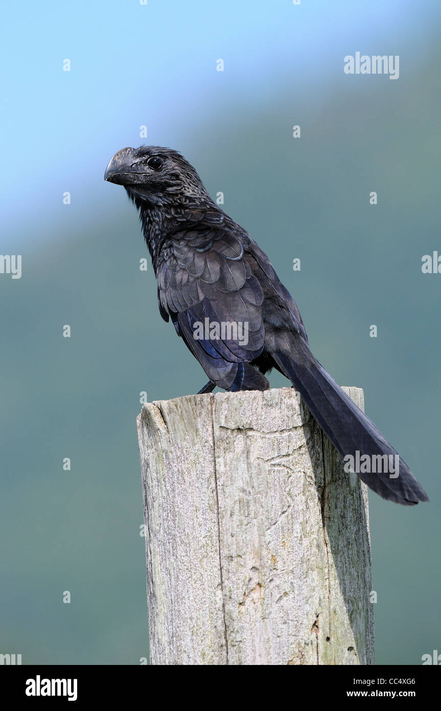 Smooth-billed Ani (Crotophagus ani) perched on fence post, Trinidad - Stock Image