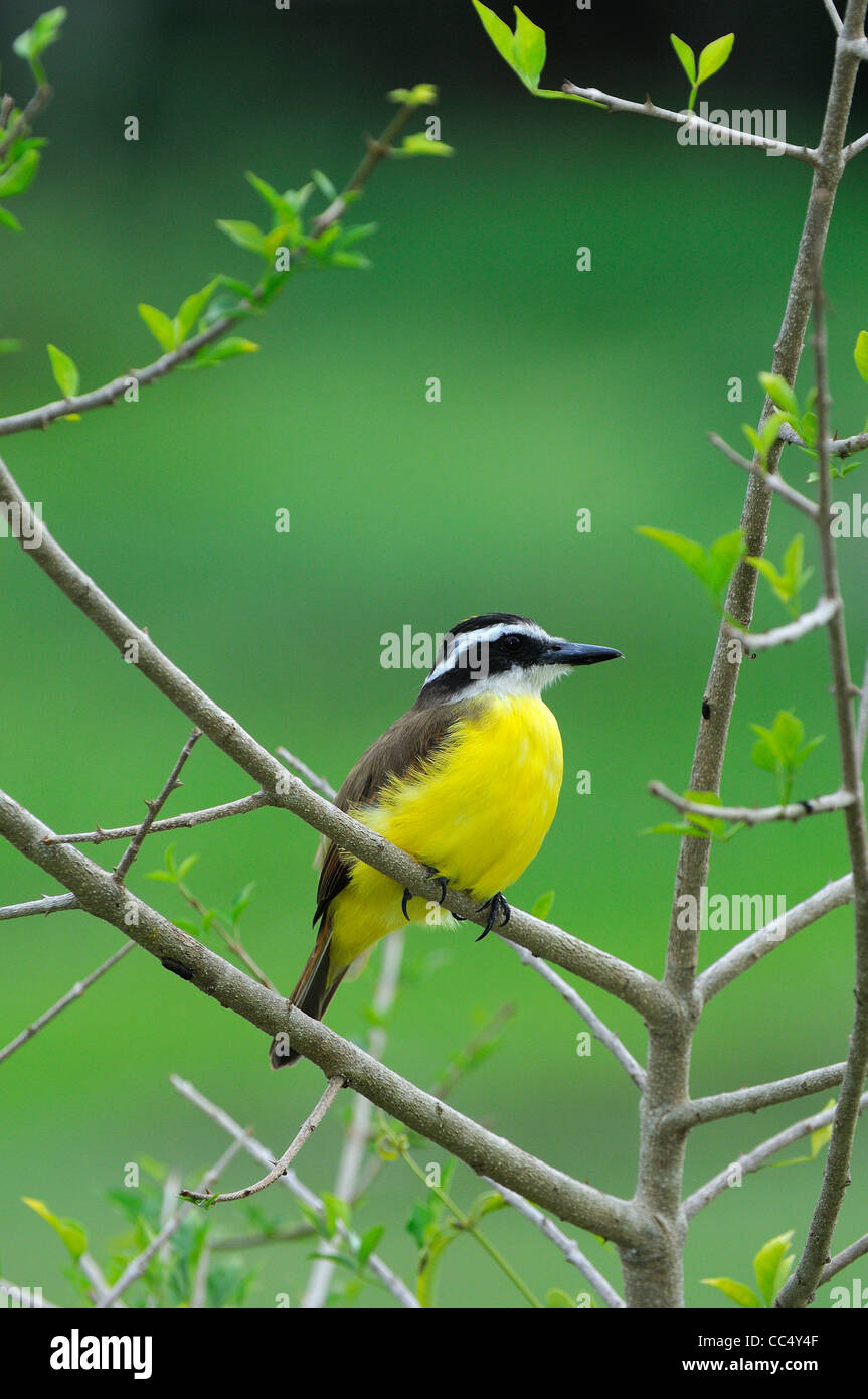 Great Kiskadee (Pitangus sulphuratus) perched in bush, Georgetown, Guyana - Stock Image