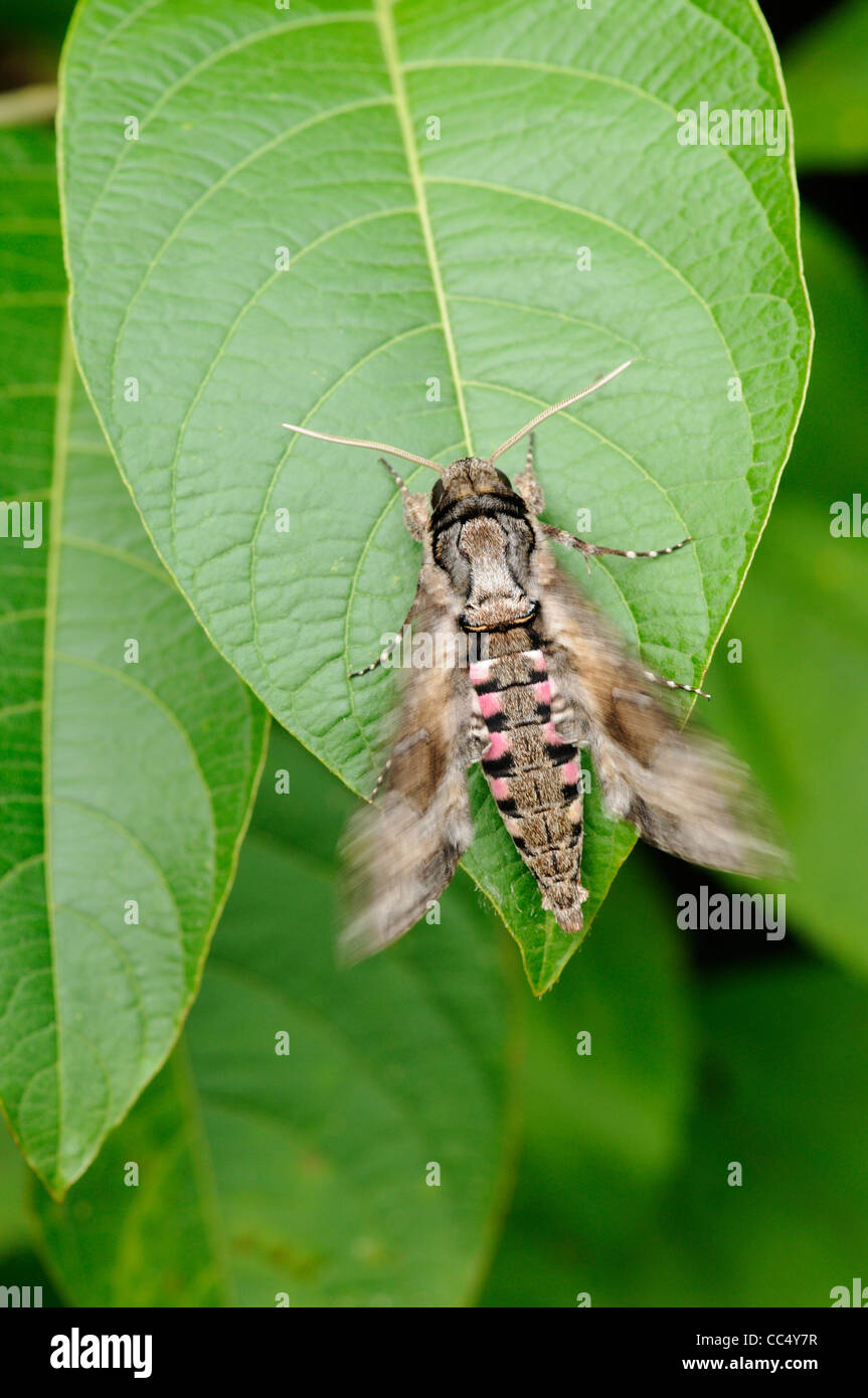Pink-spotted Hawkmoth (Agrius cingulata) quivering wings to warm up prior to flying, Trinidad - Stock Image