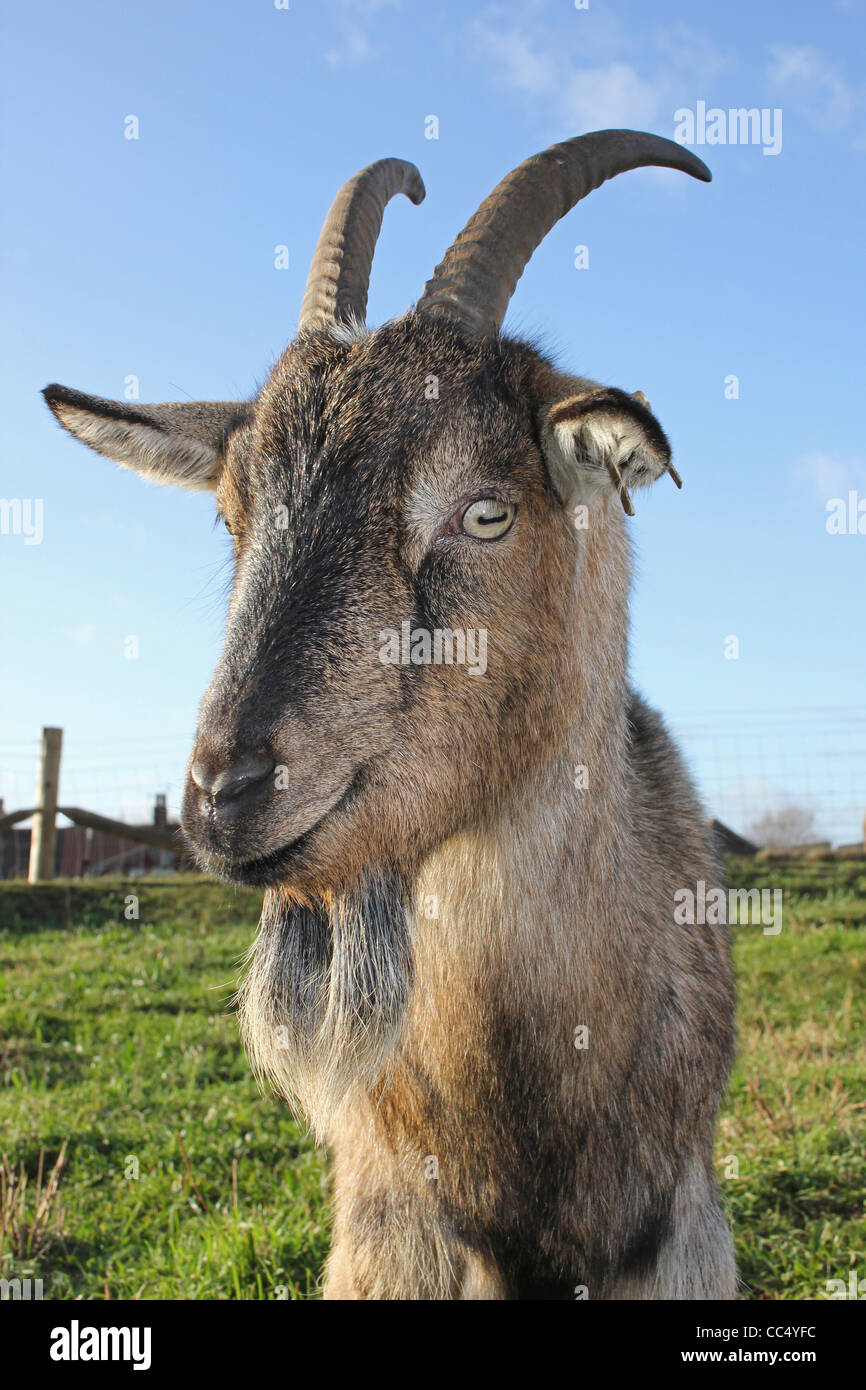 Billy Goat - Stock Image