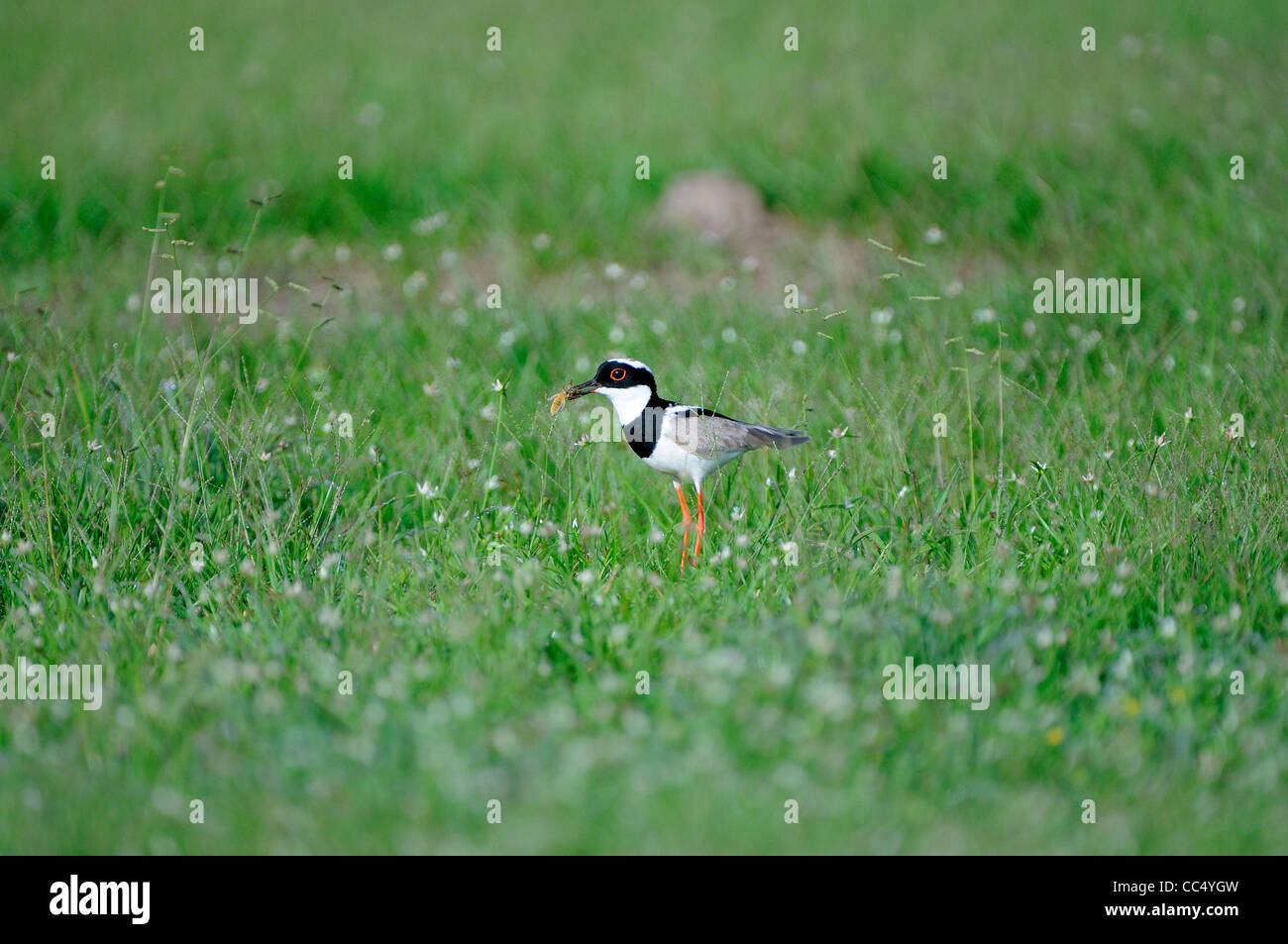 Pied Lapwing (Vanellus caryanus) stood in grass with insect in beak, Iwokrama rainforest, Guyana - Stock Image