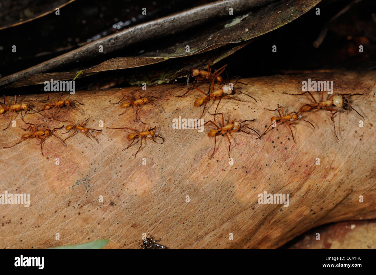 Red Army Ant (Eciton species) Rupununi, Guyana - Stock Image