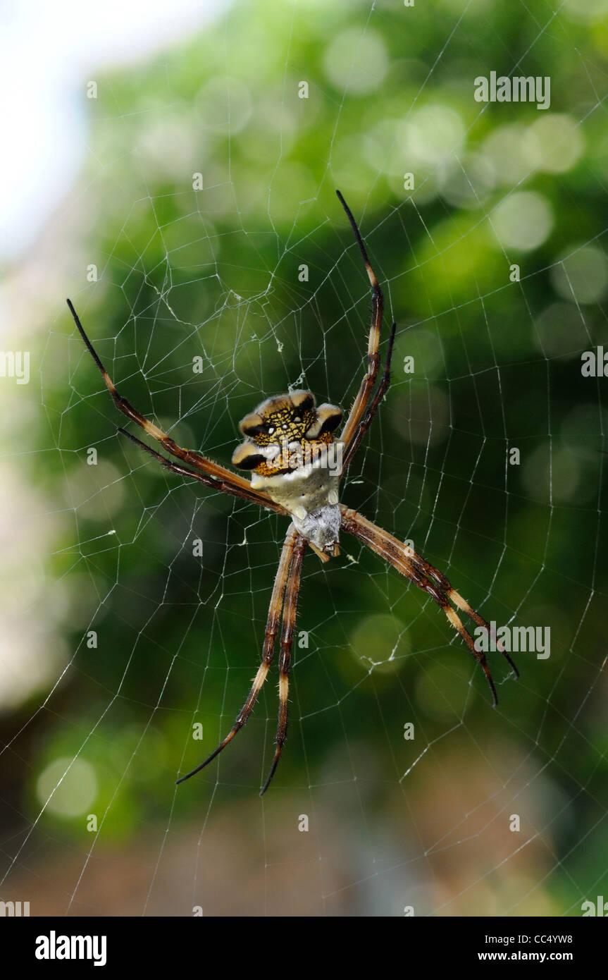 Silver Argiope (Argiope argentata) at rest in web, Rupununi, Guyana - Stock Image