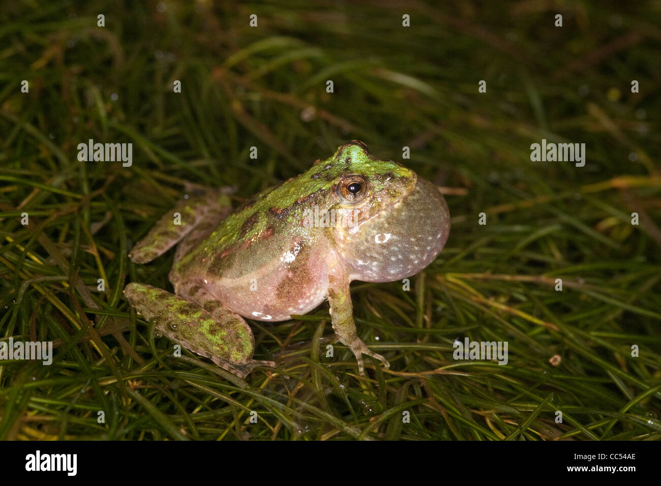 Blanchard's Cricket Frog Acris crepitans blanchardi Flat Creek, Barry County, Missouri, United States Stock Photo