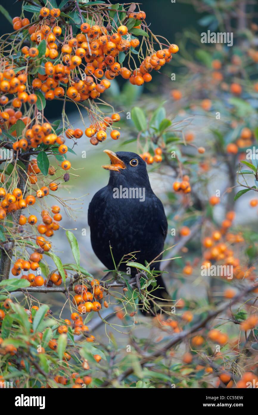 Blackbird; Turdus merula; male in Pyracantha bush; Cornwall; UK - Stock Image