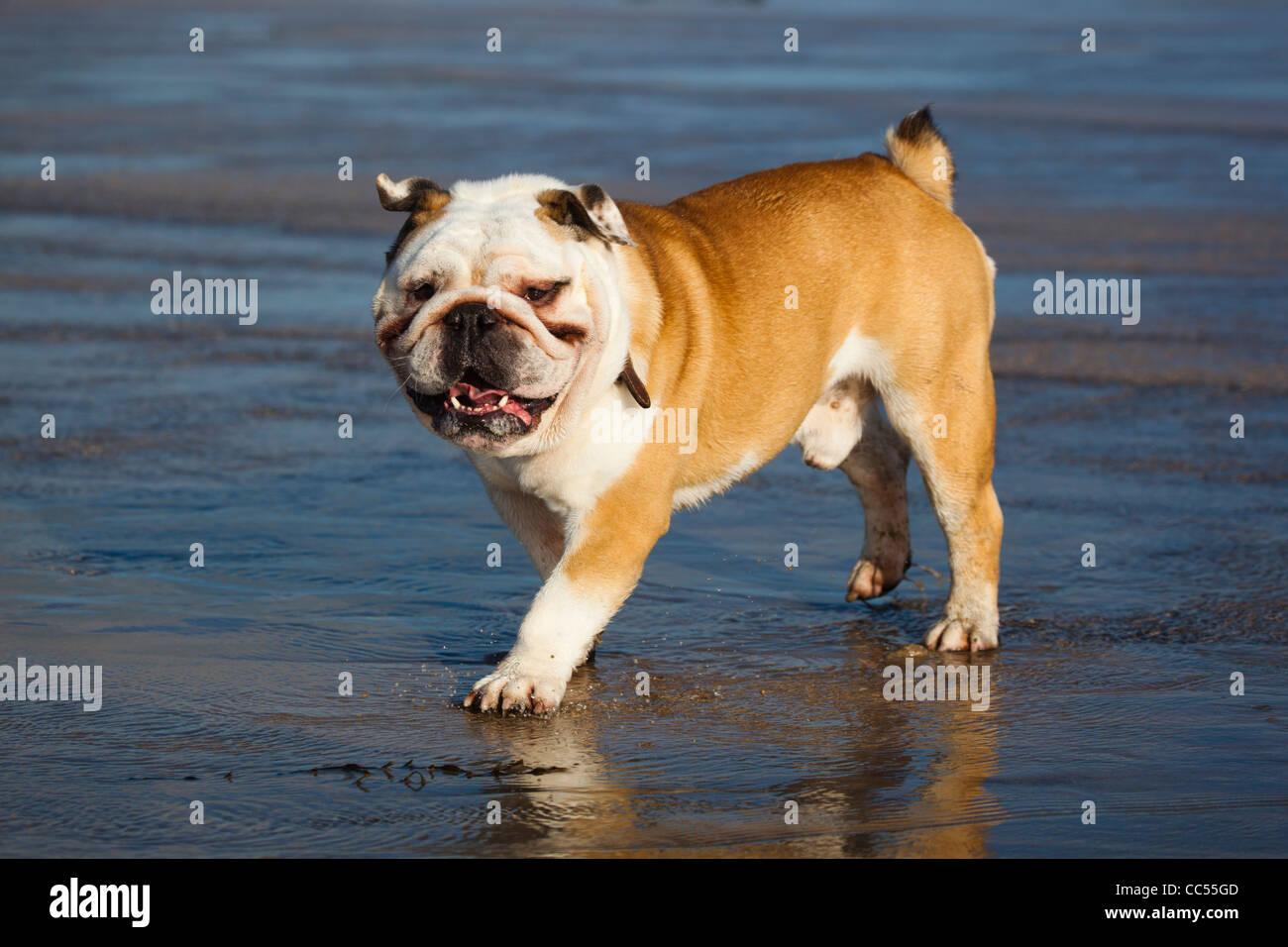 British Bulldog; on the beach; Cornwall; UK - Stock Image