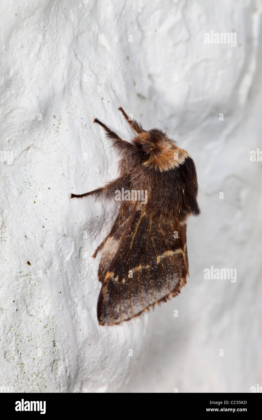 December Moth; Poecilocampa populi; on a wall; Cornwall; UK - Stock Image