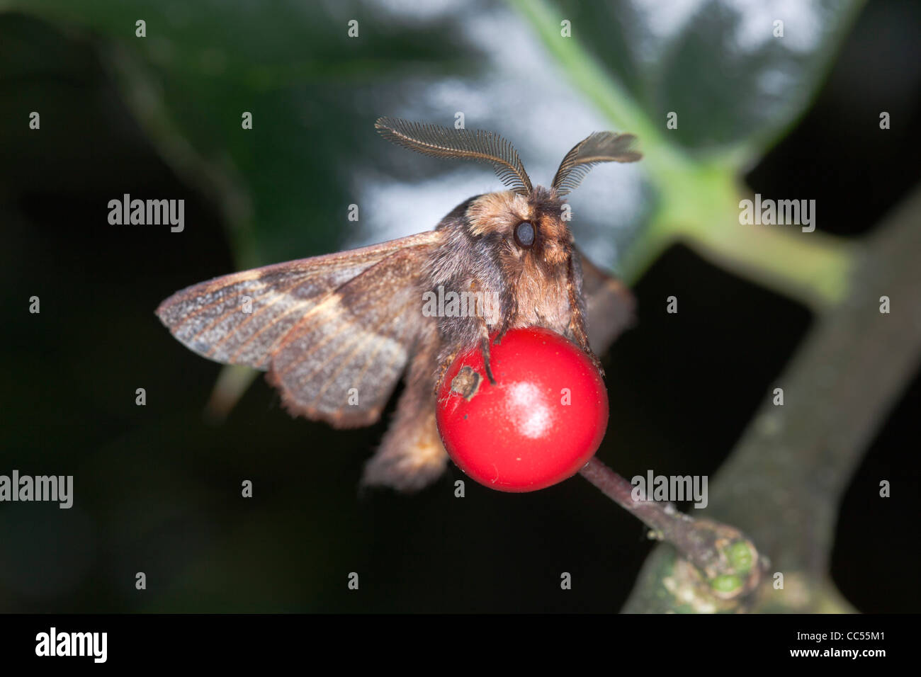 December Moth; Poecilocampa populi; on holly berry; Cornwall; UK - Stock Image
