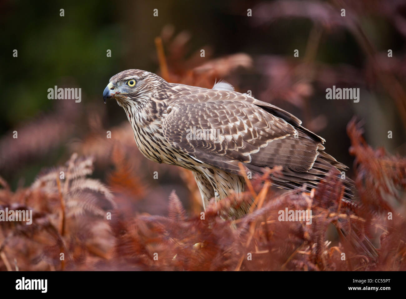 Goshawk; Accipter gentilis; immature female; in bracken; UK - Stock Image