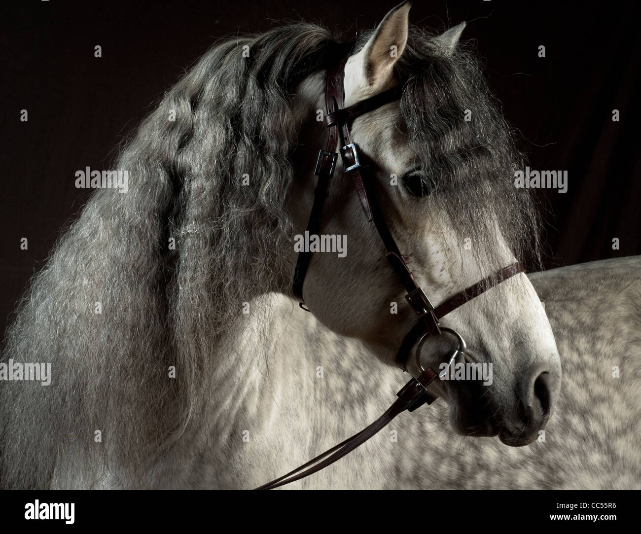 Andalusian horse, portrait, Poland - Stock Image