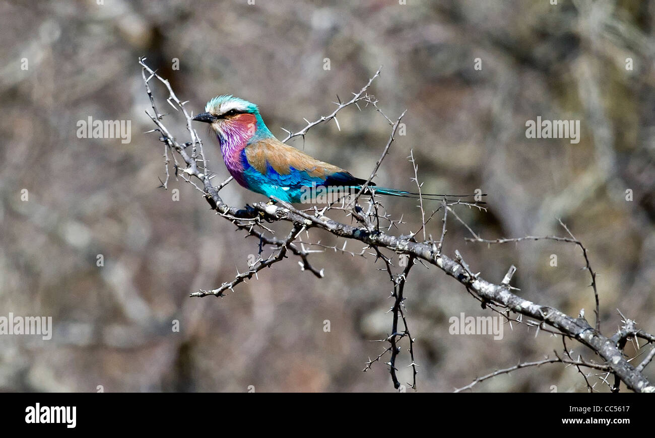 A Lilac-breasted Roller perched on a bush Stock Photo