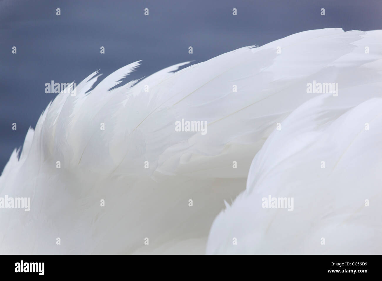 Mute Swan; Cygnus olor; feather detail; UK - Stock Image