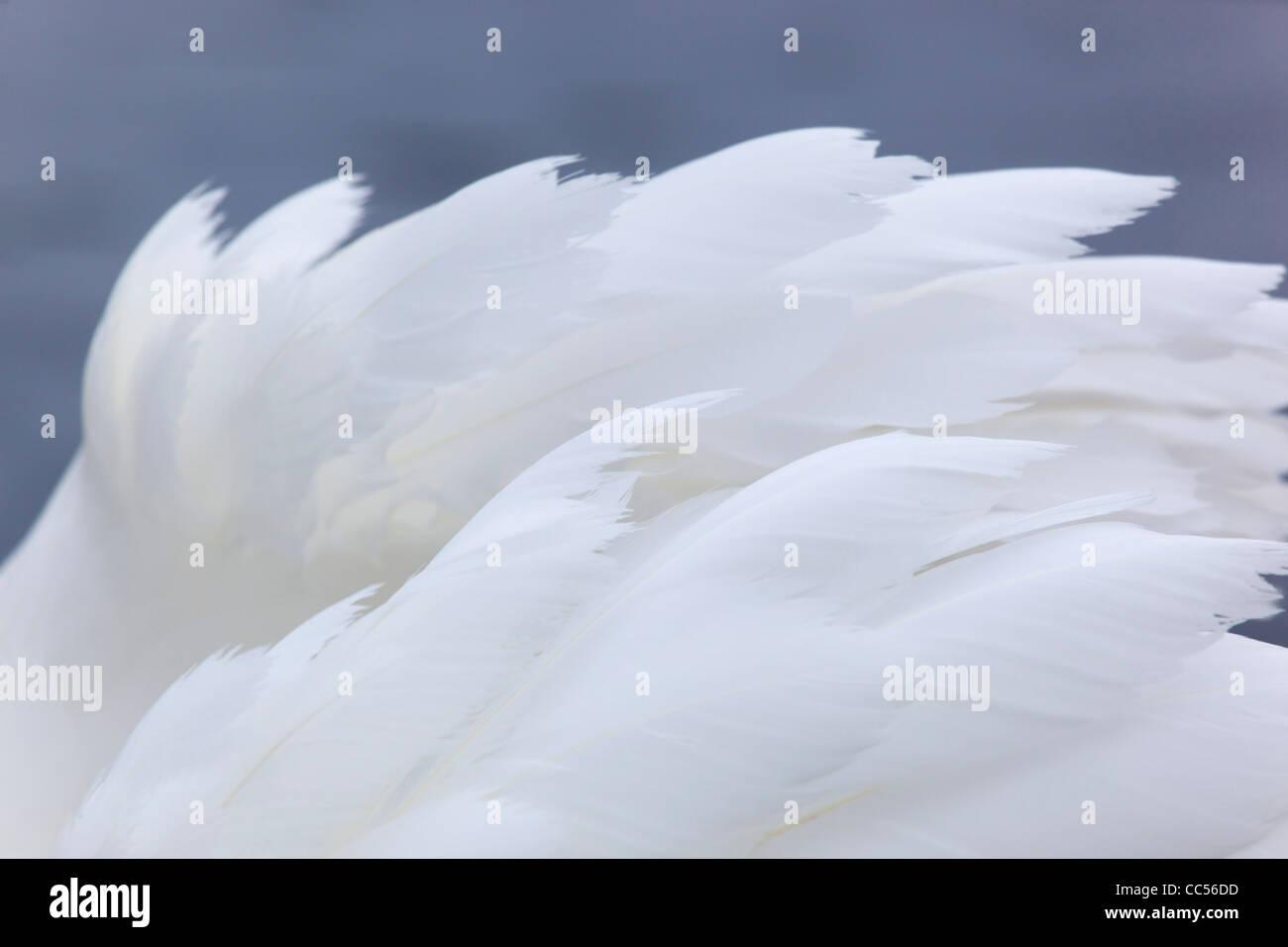 Mute Swan; Cygnus olor; feather detail; UK - Stock Image