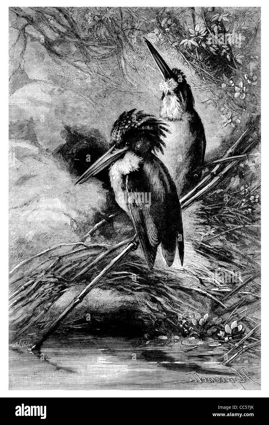 Malachite crested African Kingfisher - Stock Image
