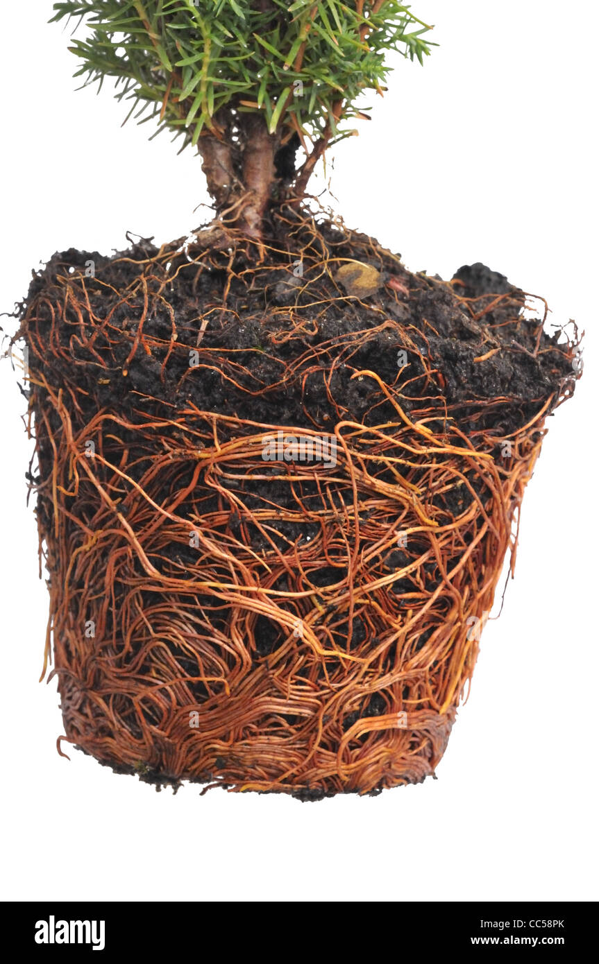 Pot bound exposed roots of Conifer Thuja occidentalis 'Teddy'. - Stock Image