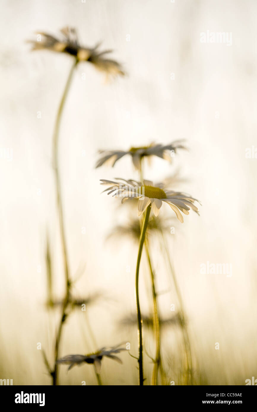 Daisy flower meaning stock photos daisy flower meaning stock daisies in silhouette stock image izmirmasajfo