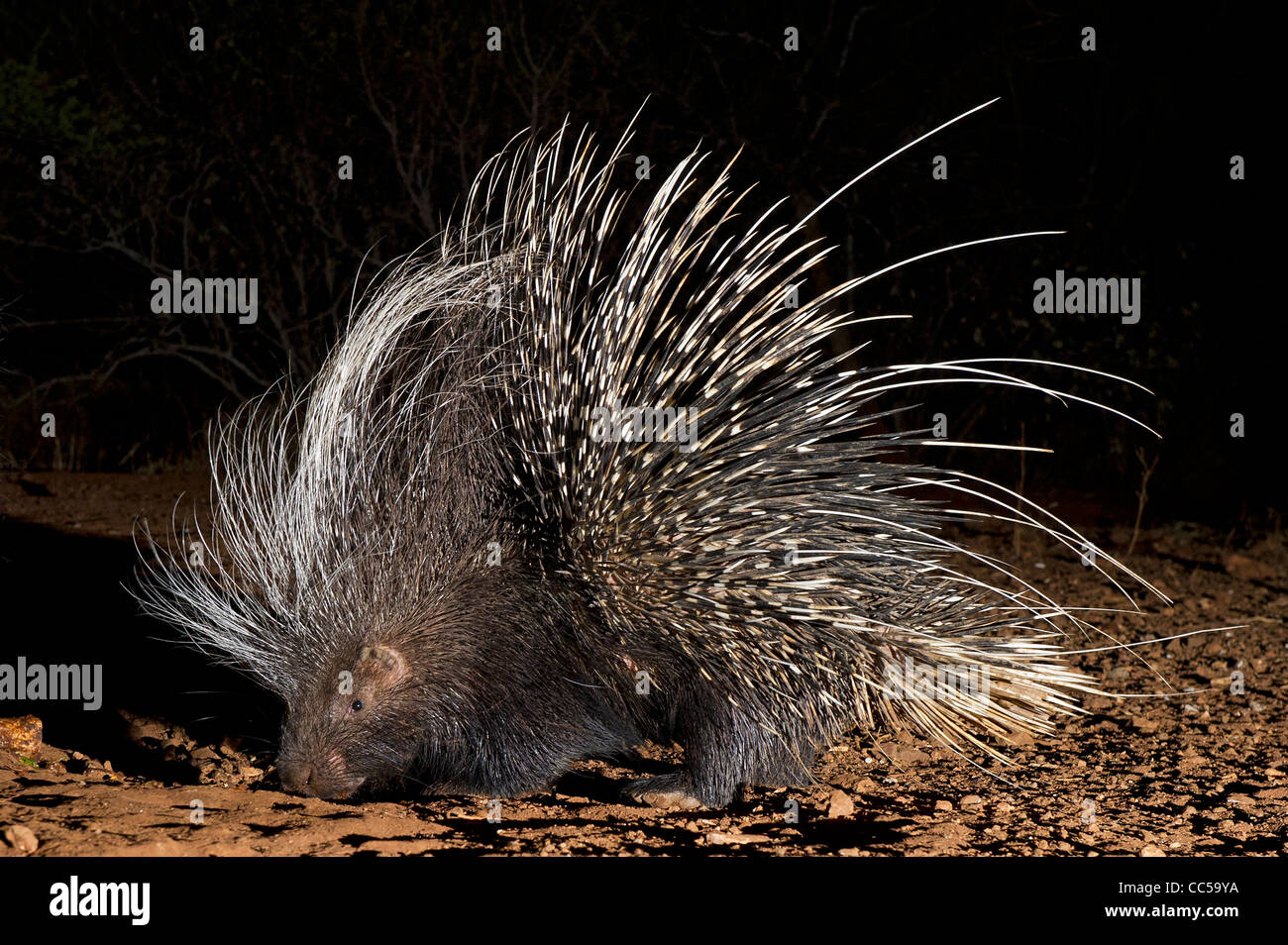 A Porcupine looking for food at night - Stock Image