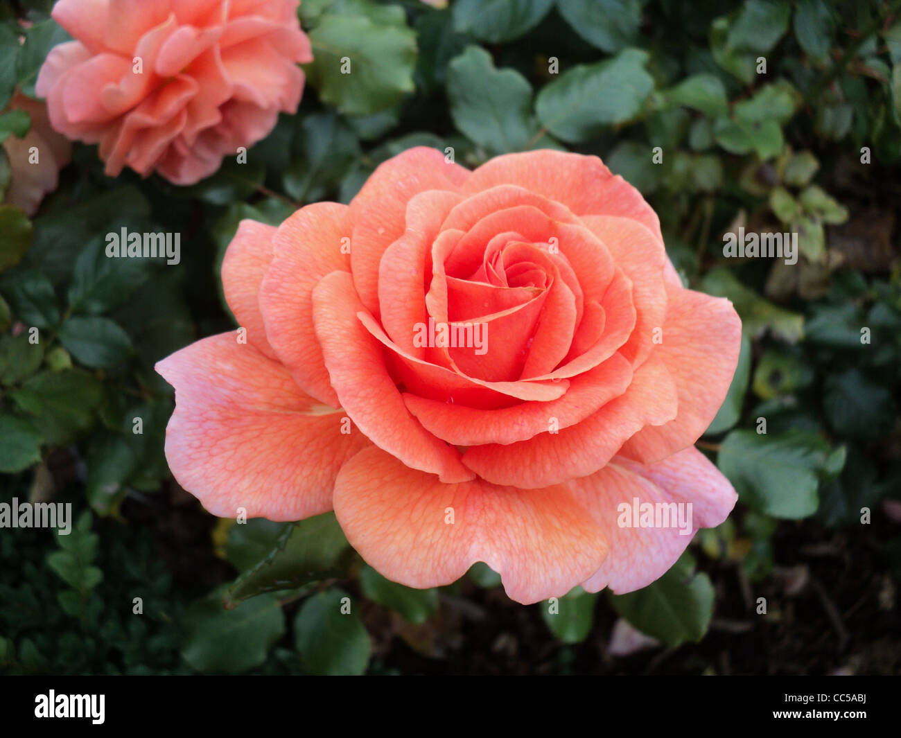lovely roses stock photos & lovely roses stock images - alamy