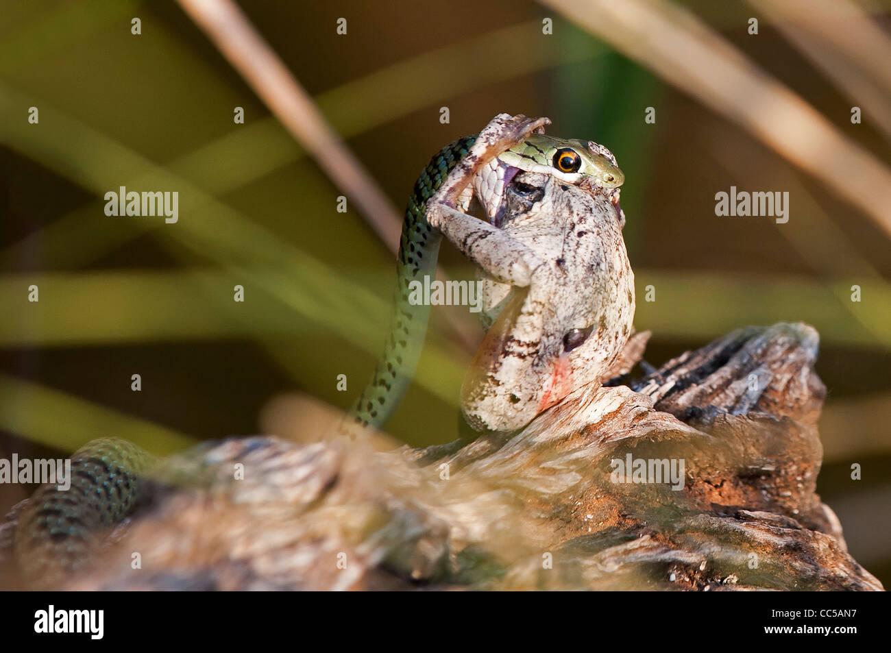 A Spotted Bush snake killing a frog Stock Photo