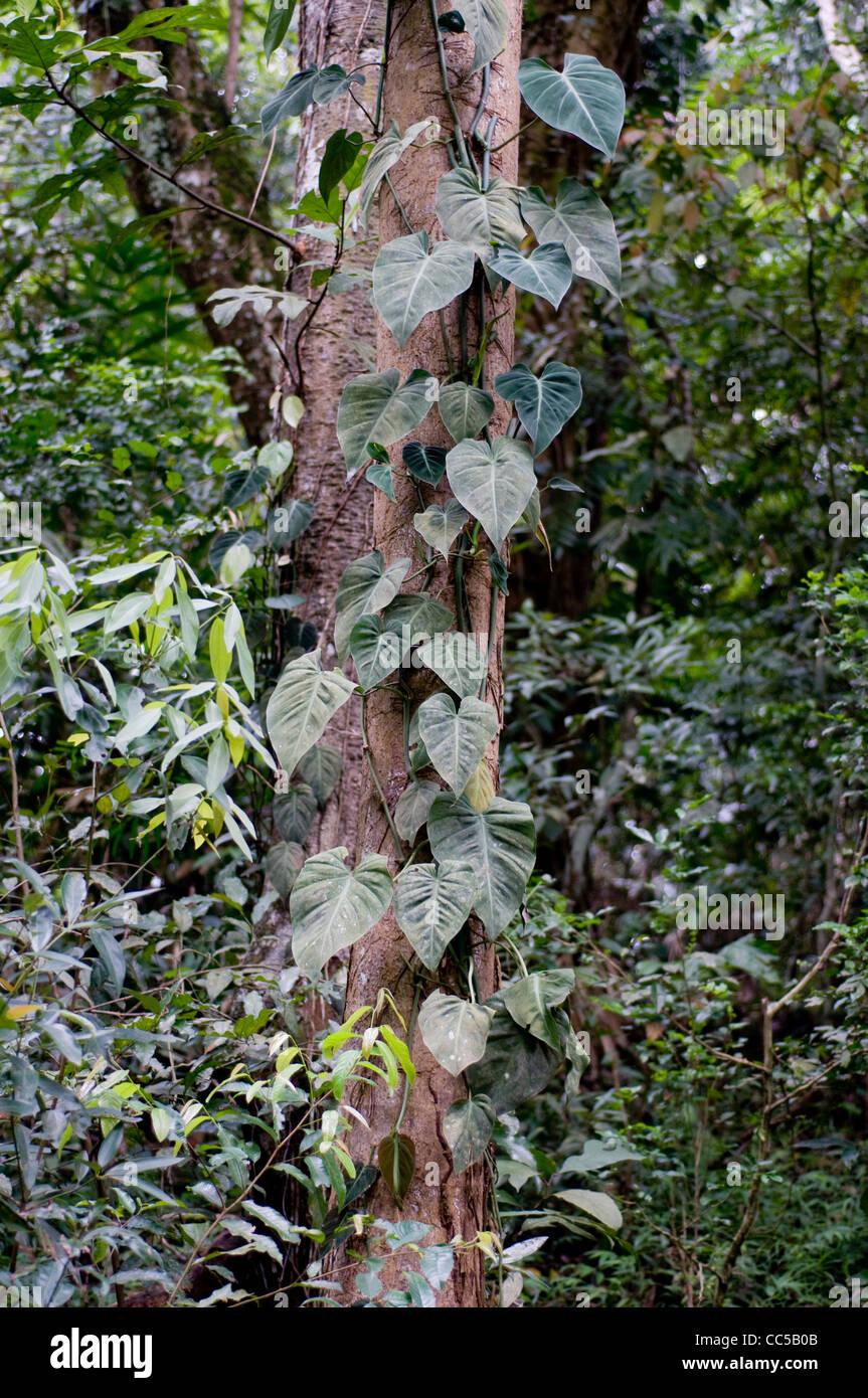 Lianas seen in Udawatta Kele Sanctuary, Kandy, Sri Lanka. - Stock Image