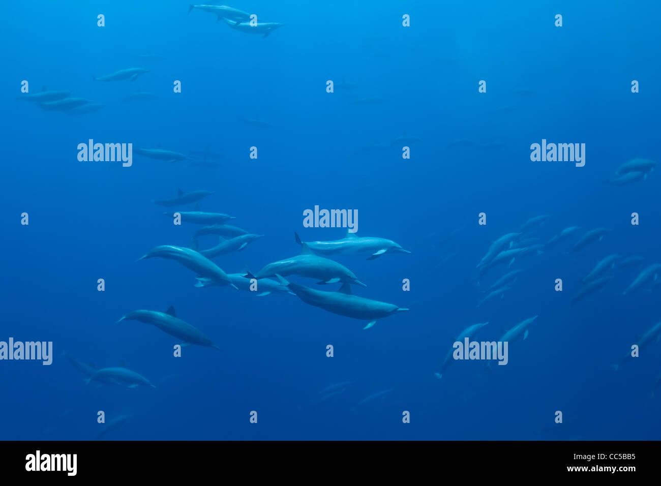 Eastern spinner dolphins, Stenella longirostris orientalis, off Baja California, Mexico ( Eastern Pacific Ocean - Stock Image