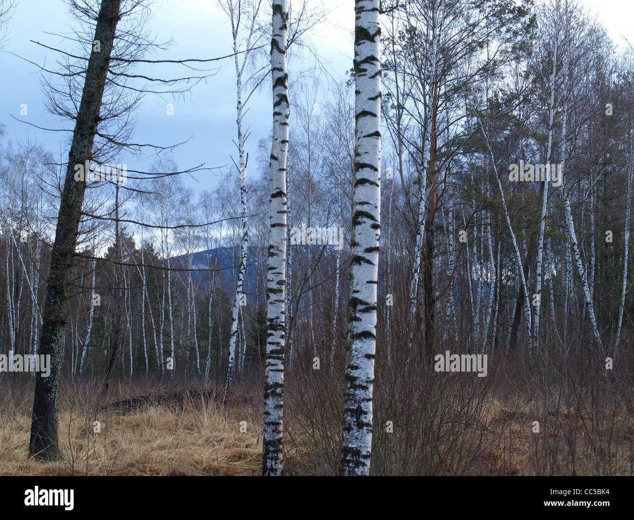 wood in the Arrach high moor with mountain Osser in the background / Wald im Arracher Hochmoor mit dem Berg Osser Stock Photo