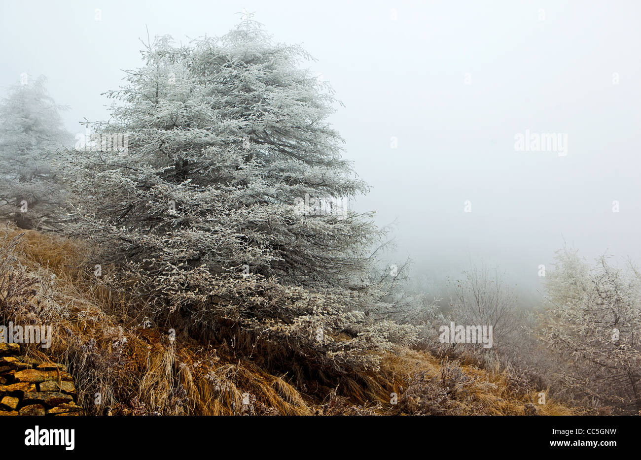 Ice-rimmed pine tree, Wuling Mountain, Beijing, China - Stock Image