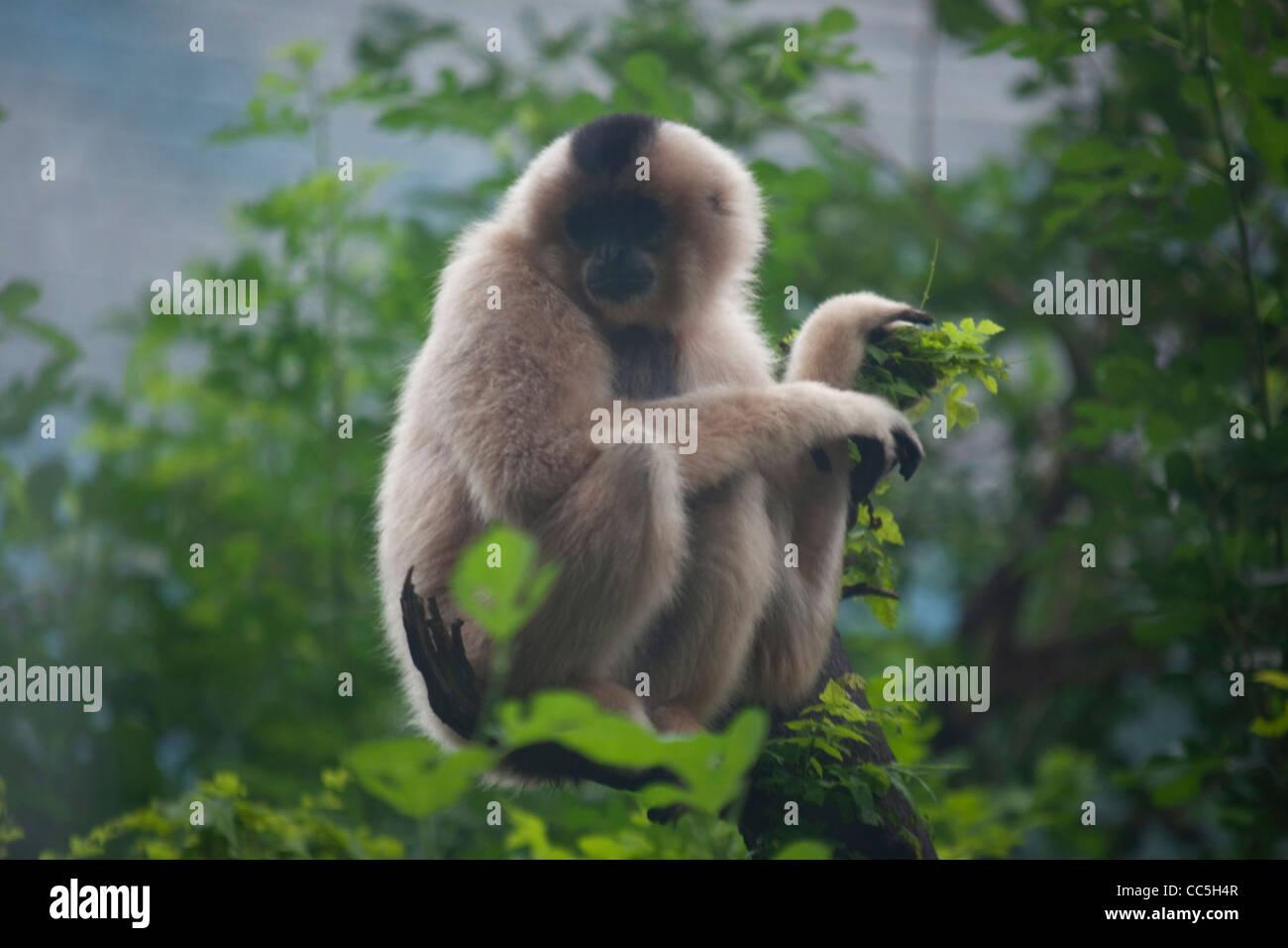 Rhinopithecus roxellanae, Beijing Zoo, China - Stock Image