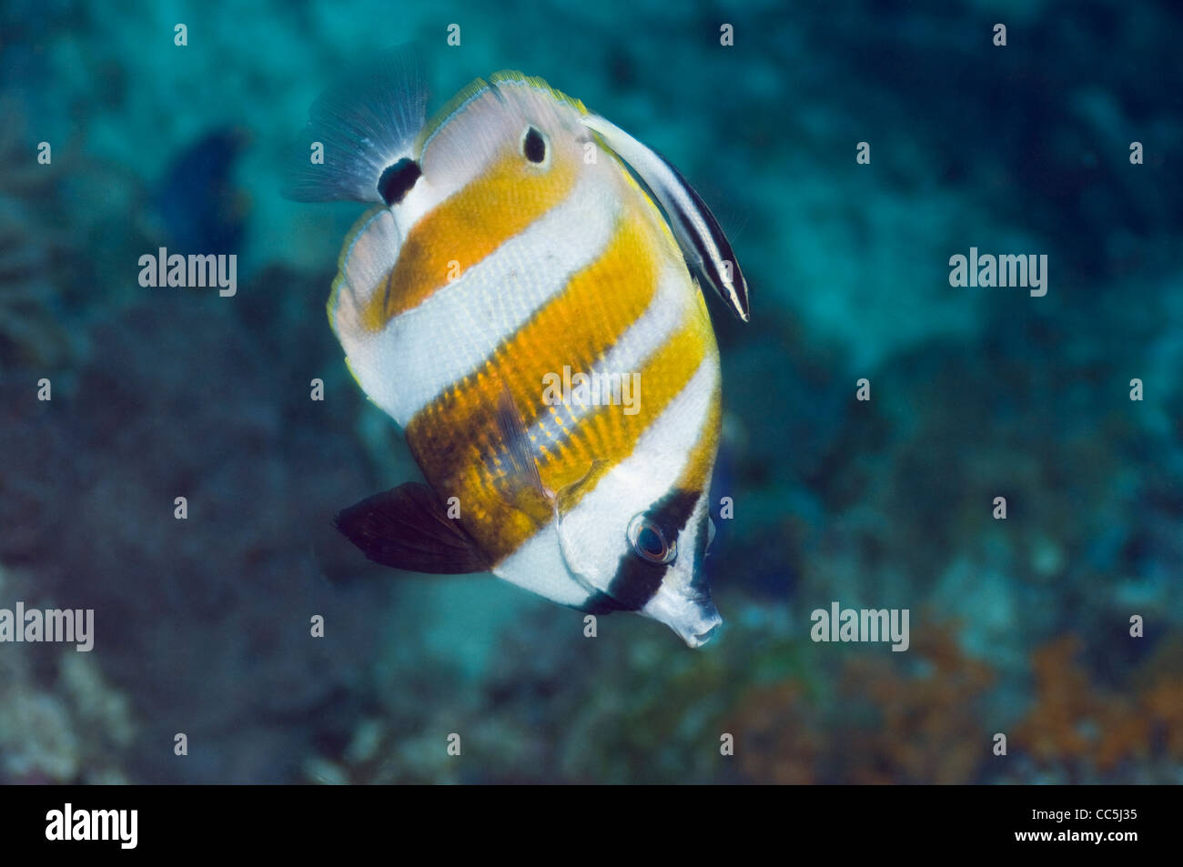 Orange-banded coralfish (Coradion chrysozonus) with a Bicolour cleaner wrasse (Labroides bicolor) - Stock Image