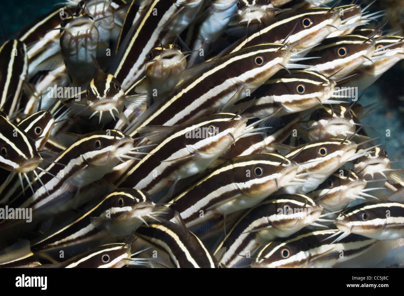Striped catfish (Plutosus lineatus) school. Manado, Sulawesi, Indonesia. Stock Photo