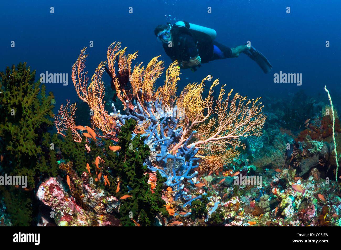 Gorgonians with diver on coral reef. Indonesia. - Stock Image