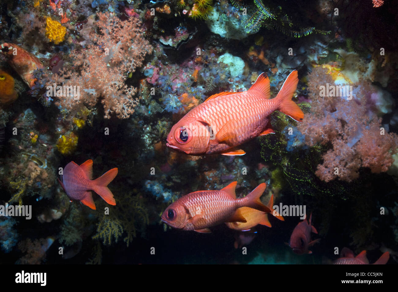Bigscale soldierfish with swimming past coral reef wall - Stock Image