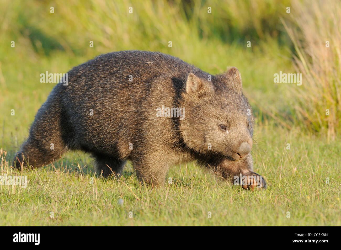 Common Wombat Vombatus ursinus Photographed in Tasmania Stock Photo