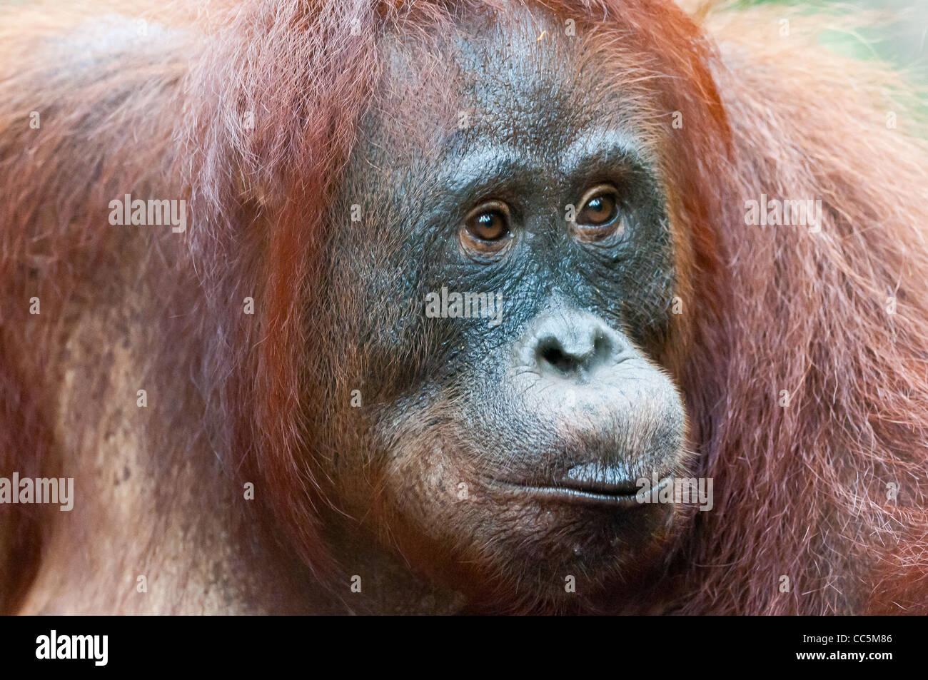 A close portrait of a wild but habituated, adult female orangutan, Camp Leakey, Borneo. Stock Photo