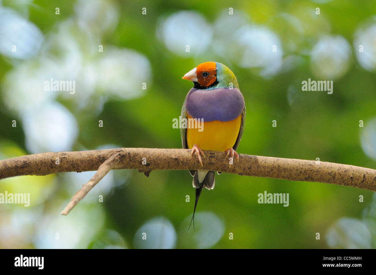 Gouldian Finch Erythrura gouldiae Endangered species Photographed in northern Queensland, Australia - Stock Image