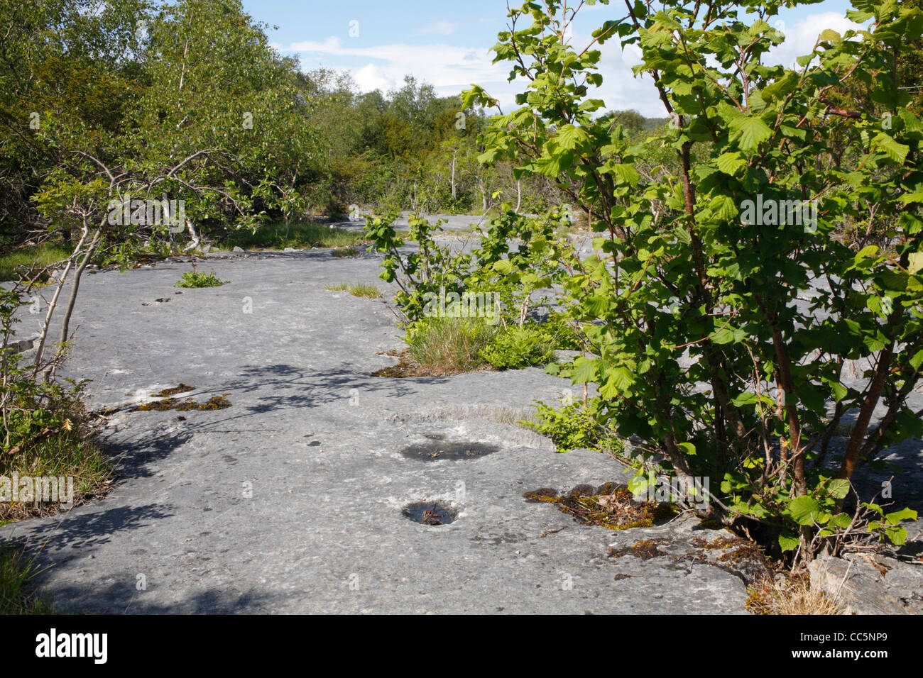 Hazel and Birch trees growing from limestone pavement. Gait Burrows National Nature Reserve. Cumbria, England. June. Stock Photo