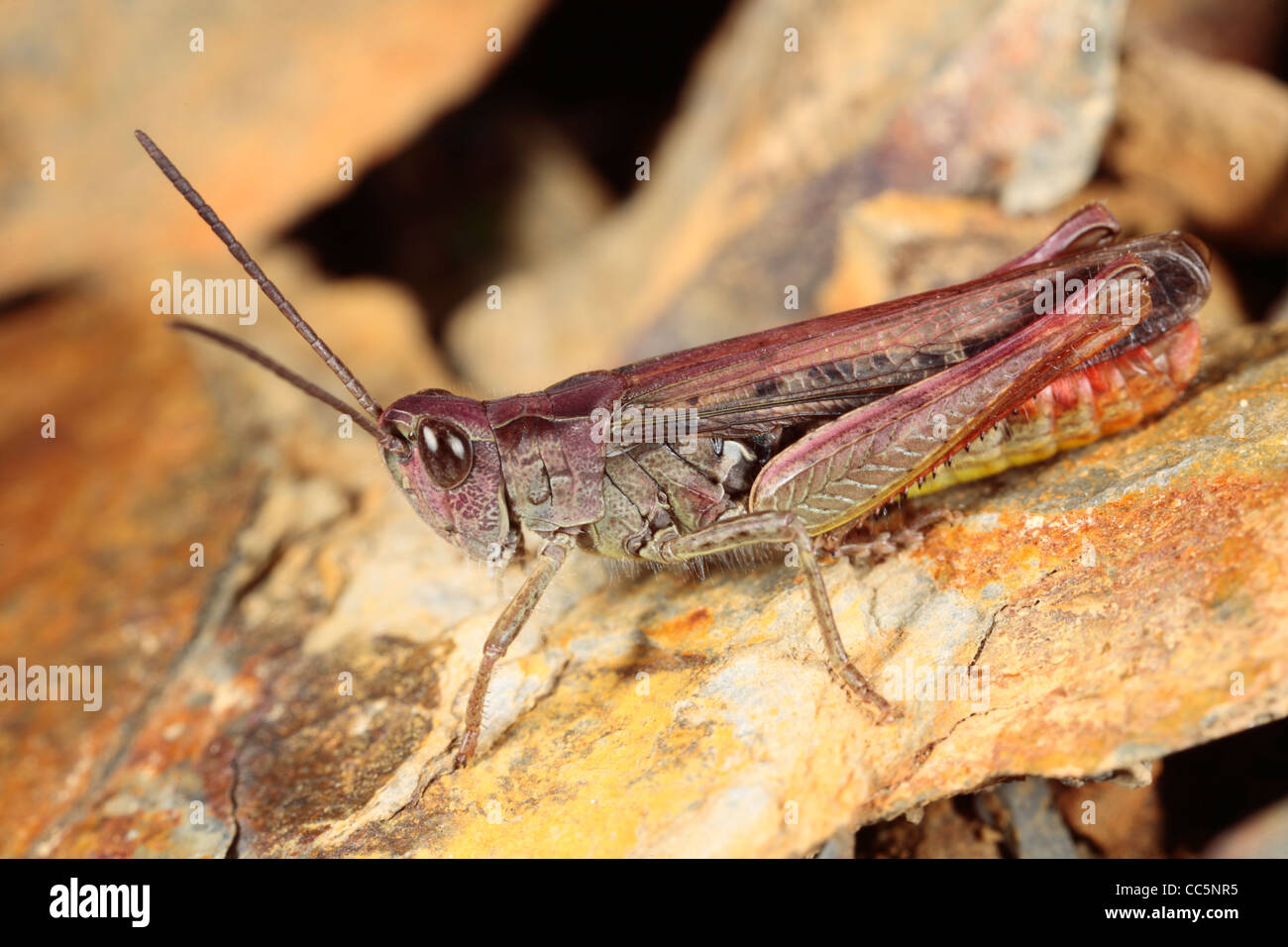 Male Field Grasshopper (Chorthippus brunneus). Purple form. Powys, Wales. August. - Stock Image