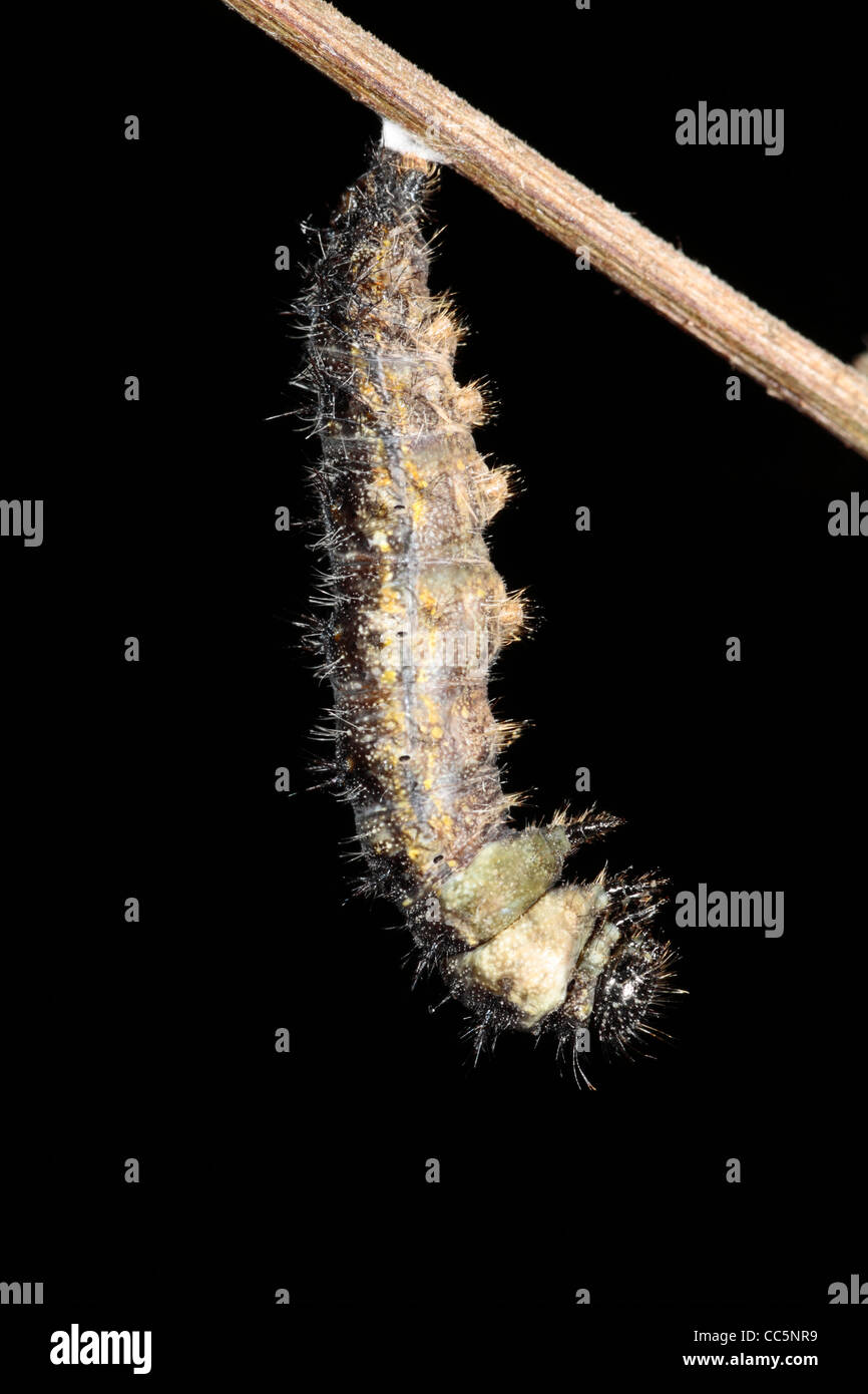 Metamorphosis of a Small Tortoiseshell butterfly (Aglais urticae) larva into a pupa. 2 of 7. - Stock Image
