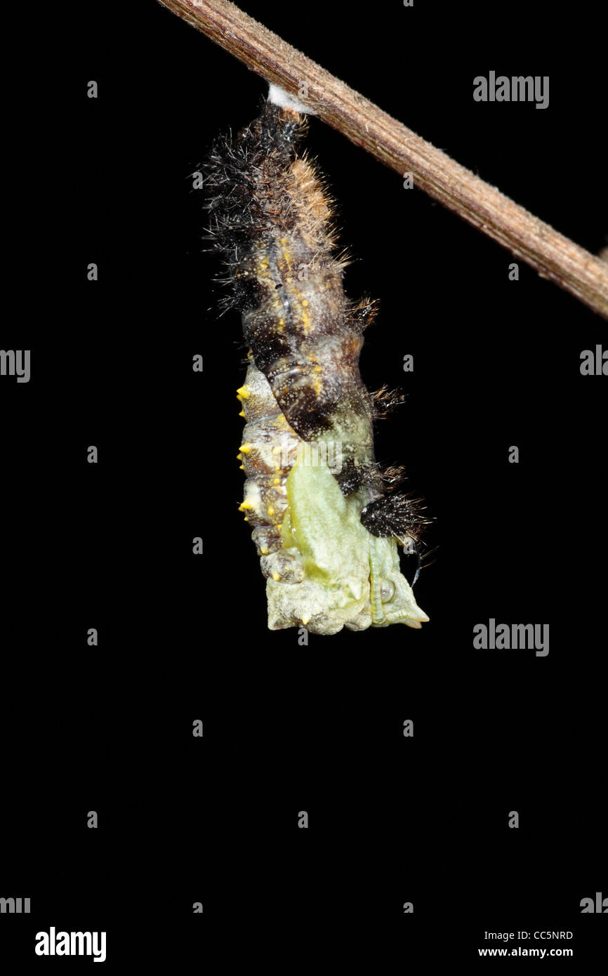 Metamorphosis of a Small Tortoiseshell butterfly (Aglais urticae) larva into a pupa. 4 of 7. - Stock Image