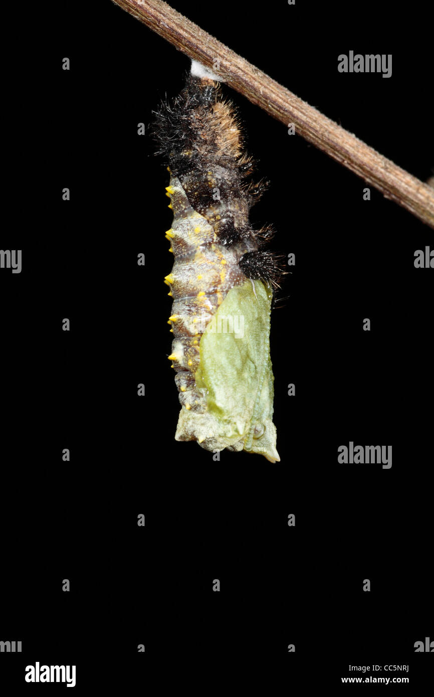 Metamorphosis of a Small Tortoiseshell butterfly (Aglais urticae) larva into a pupa. 5 of 7. Stock Photo