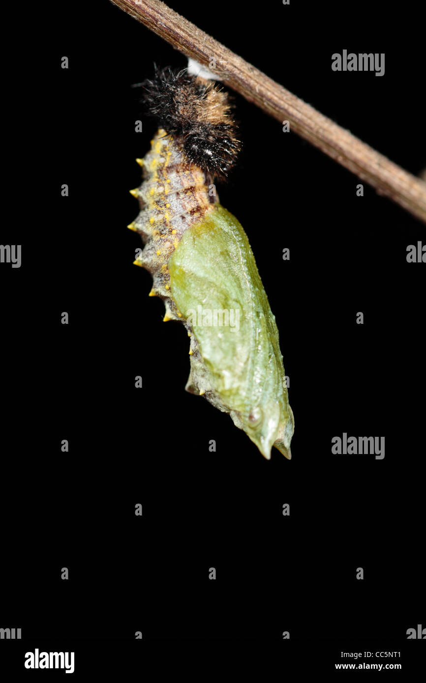Metamorphosis of a Small Tortoiseshell butterfly (Aglais urticae) larva into a pupa. 7 of 7. - Stock Image